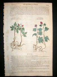 Gerards Herbal 1633 Hand Col Botanical Print. Stone & Knot Blackberry Fruit